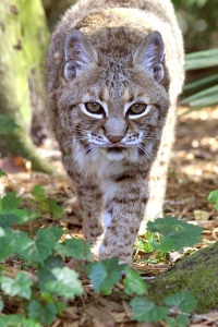 Bobcat_LittleFeather1