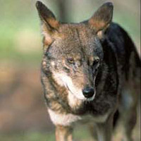 Redwolf-usfws
