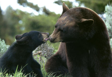 black-bear-mom-cub