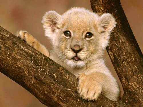 blissfully-cute-baby-animals-lion-cub-12