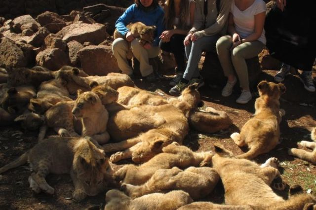 Lion Cubs with People
