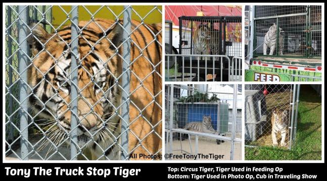 tiger-collage