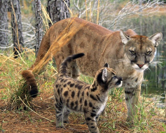 everglades_florida_panther_with_cub